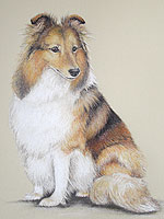 Pet portrait of a Sheltie dog